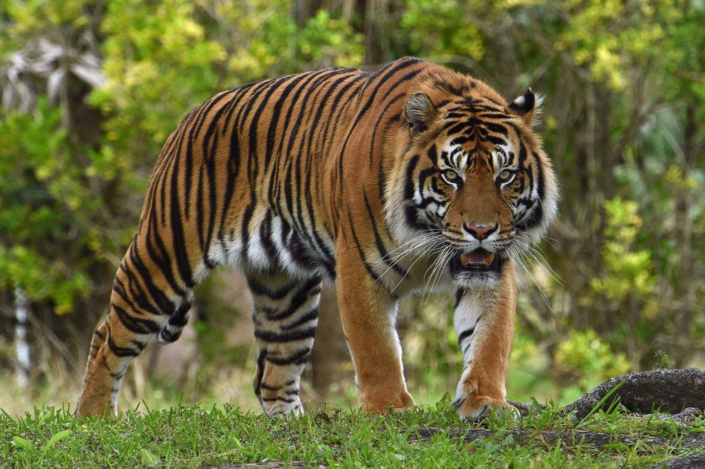 Jaguar en Zoológico de Miami Zoo en Florida
